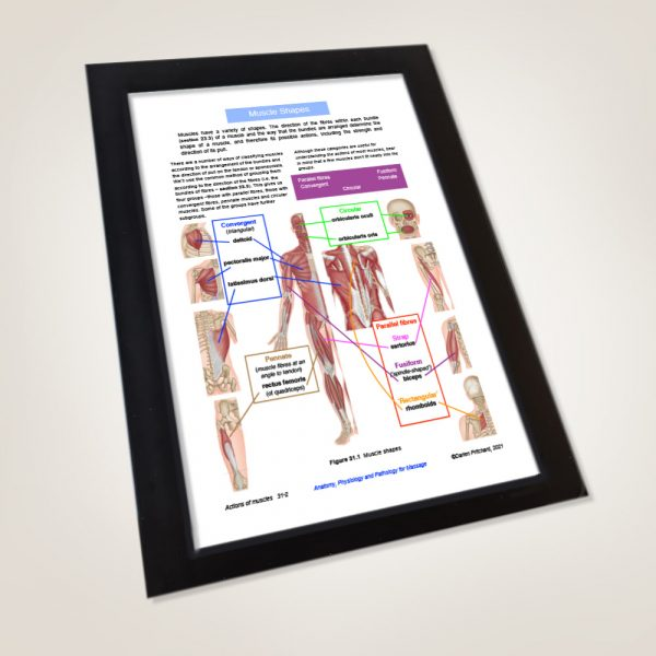 Anatomy, Physiology and Pathology for Massage by Darien Pritchard (example page)